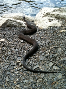Shockingly large snakes are common to see on the path to Lake Minnewaska